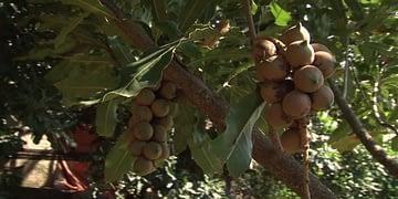 Lack of seeds hindering Macadamia farmers in Gakenke district